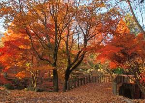 ヤマボウシ橋の紅葉