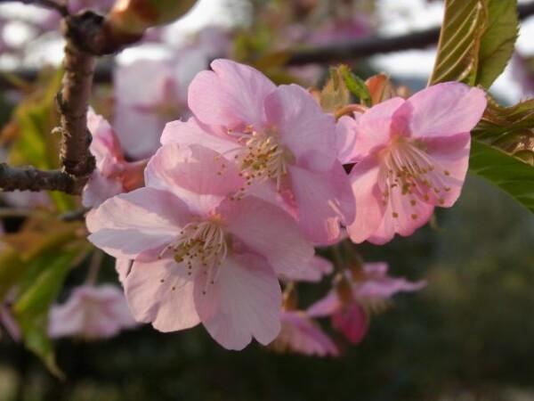 河津桜_640